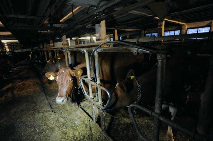 Guldbelönade mjölkbönder bryter mot djurskyddslagstiftningen 1